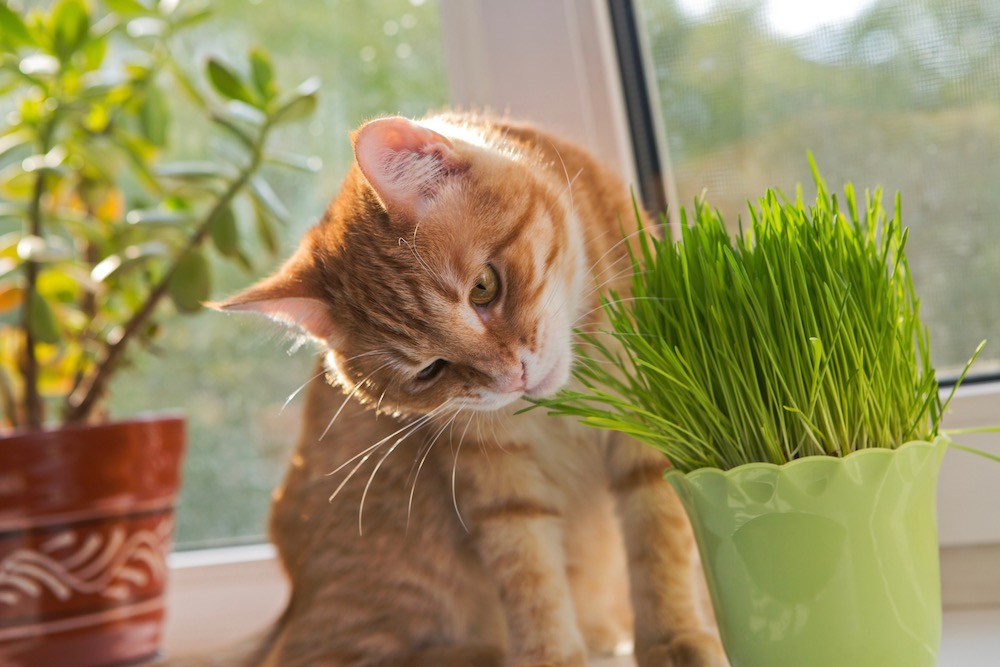 A cat sniffing some catnip